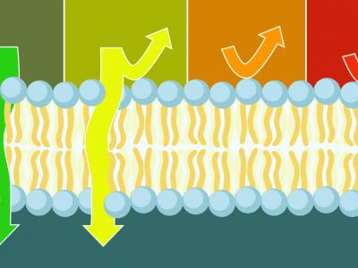 lipid membrane permeability